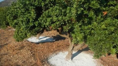 Νότια Χίος, Μαστιχόδεντρα