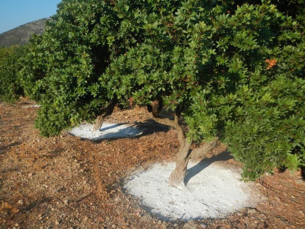 мастиковое дерево фото как